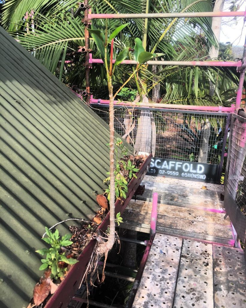 Hang in there lil fella bonsai fig gutterguard scaffold